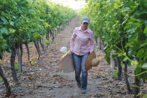 Ayuntamiento de Novelda DSC_0781-300x201 Veinte agricultores de la comarca se preparan para el II Concurso de Embolsado de Uva del próximo domingo