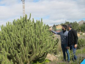 Ayuntamiento de Novelda Cactus-3-ayto-300x225 El Ayuntamiento retira más de 20 toneladas de un cactus invasor en el cauce del Vinalopó