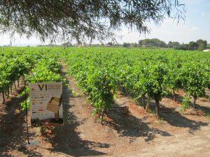 Ayuntamiento de Novelda Viña-ayto-300x225 El Concurso de Embolsado de Uva de Mesa no se celebrará este año
